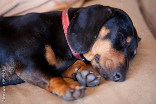dashshund dog resting