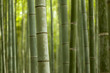 Bamboo Forest Closeup