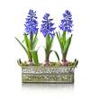 Pot de trois jacinthes bleues