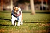 Frech Bulldog Stance