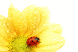 ladybug on yellow flower