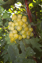 Fresh tasty ripe grapes in the vineyard.