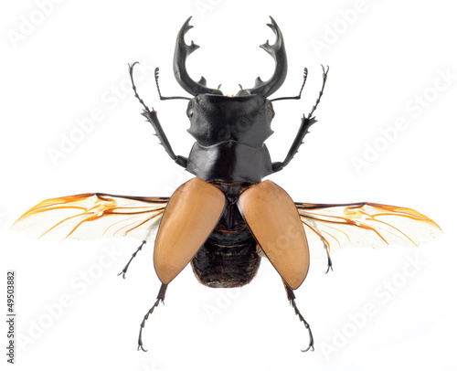 insect, beetle, bug, rhino beetle, isolated on white
