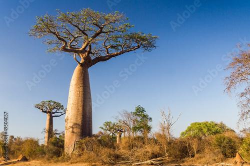 Fototapeten,afrika,afrikanisch,affenbrotbaum,groß