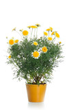 Pot with yellow daisy flower