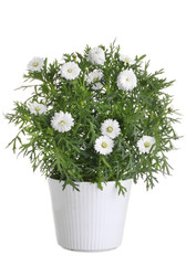 Pot with white daisy flower