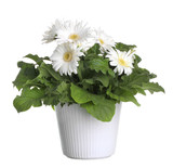 Gerber's  flowers in a flowerpot isolated on a white background.