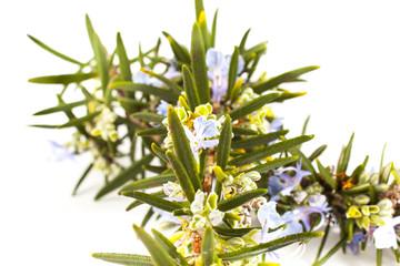 Rosemary(Rosmarinus officinalis)