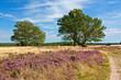 Heidelandschaft mit Eichen in der Lüneburger Heide