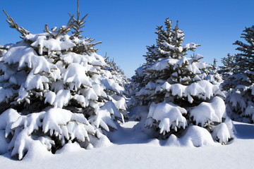 Rows of Trees Covered with Fresh Snow