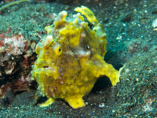 frog fish portrait