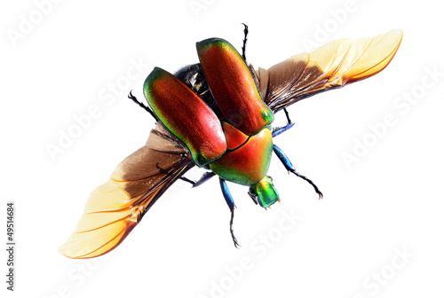 flying bug beetle,isolated on white background