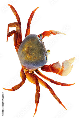 Rainbow Crab on white