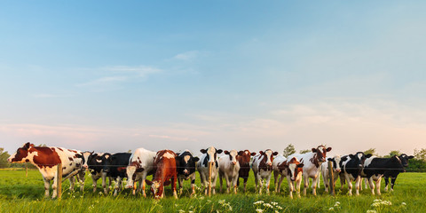 Curious Dutch milk cows in a row