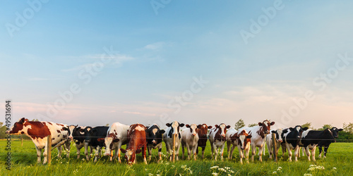Foto op Canvas Koe Curious Dutch milk cows in a row