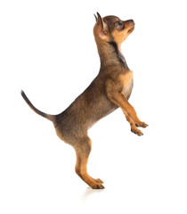 Standing dog side view. Russian toy terrier
