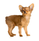winking Russian toy terrier puppy