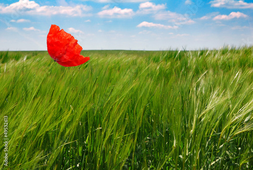 poppy in a wheat field