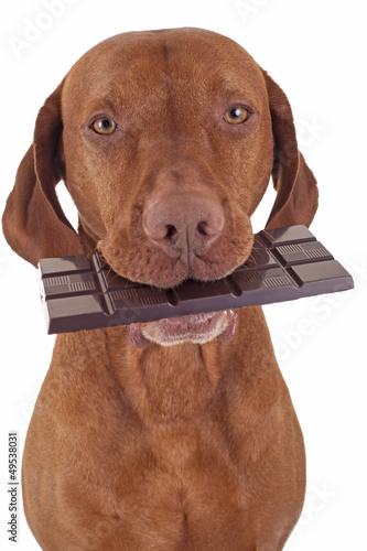 dog eating chocolate
