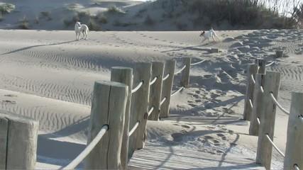 Perros en las dunas