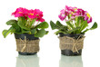 Beautiful pink primulas in flowerpots, isolated on white