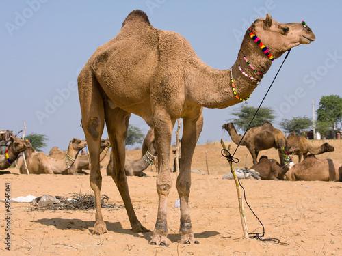 Camel at the Pushkar Fair , Rajasthan, India