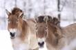 canvas print picture - Przewalski-Pferde