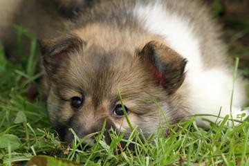 1302015 - Islandhund