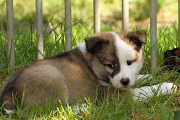 1302016 - Islandhund