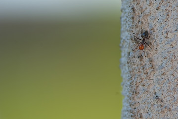 A red head ant on wall