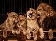 Fototapeten,arena,zirkus,löwe,löwin