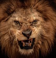 "Постер, картина, фотообои ""Close-up shot of roaring lion"""