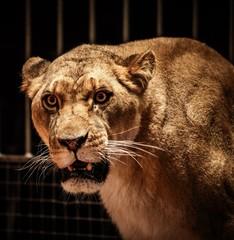 Close-up shot of lioness
