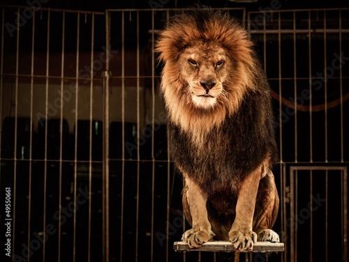 Fotobehang Afrika Lion in circus cage