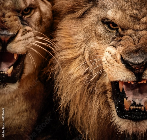 Fotobehang Leeuw Close-up shot of two roaring lion
