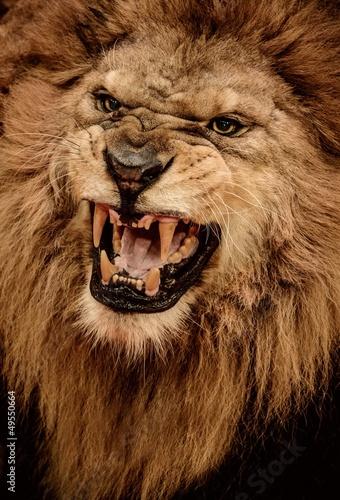 Fotobehang Leeuw Close-up shot of roaring lion