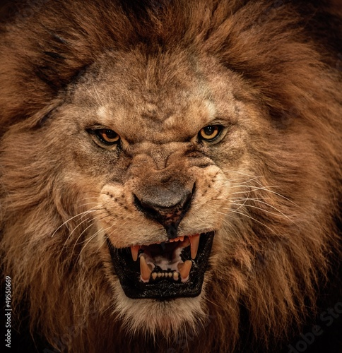 Poster Close-up shot of roaring lion