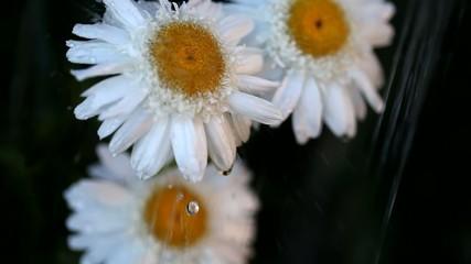 Wet Shasta Daisy