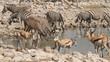 Zebra, springbok and kudu antelopes at a waterhole, Etosha N/P