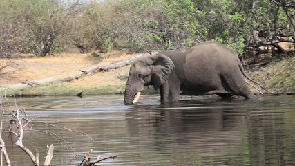 Huge male African elephant in the river