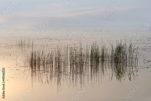 Reeds in morning