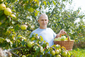 man gathers apples in the garden