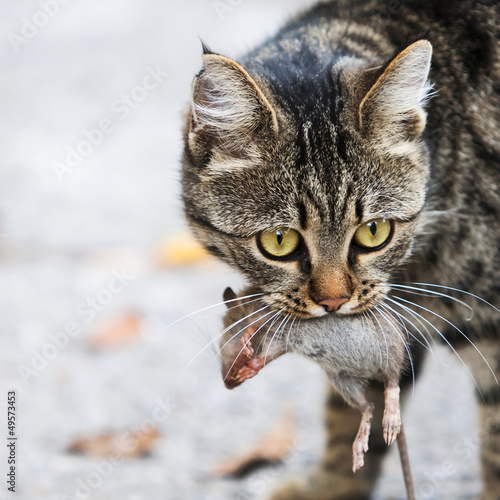 cat holds the caught mouse