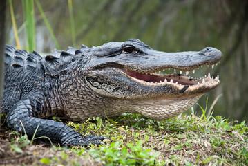 Alligatore americano nel parco Everglades. bocca denti da paura