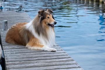Collie im Hafen auf Steg