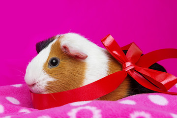cute guinea pig with a red ribbon - pink background