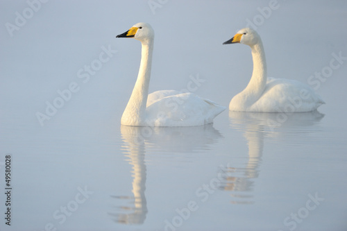 Two Whooper Swans swimming in water.