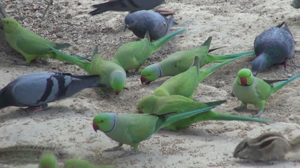 pigeons and parrots eating grains in Agra park, India