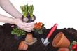 Mann bei der Gartenarbeit - Hyazinthen einpflanzen