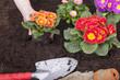Primeln und Bellis  (Gänseblümchen) im Blumenbeet